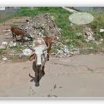 ストリートビューで見られる動物をスライドショーで表示する「Street View Safari」