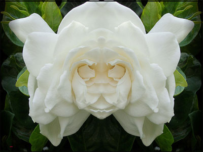 Face-of-the-Gardenia.jpg