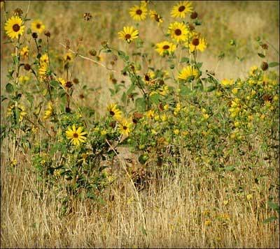Hidden-Coyote.jpg